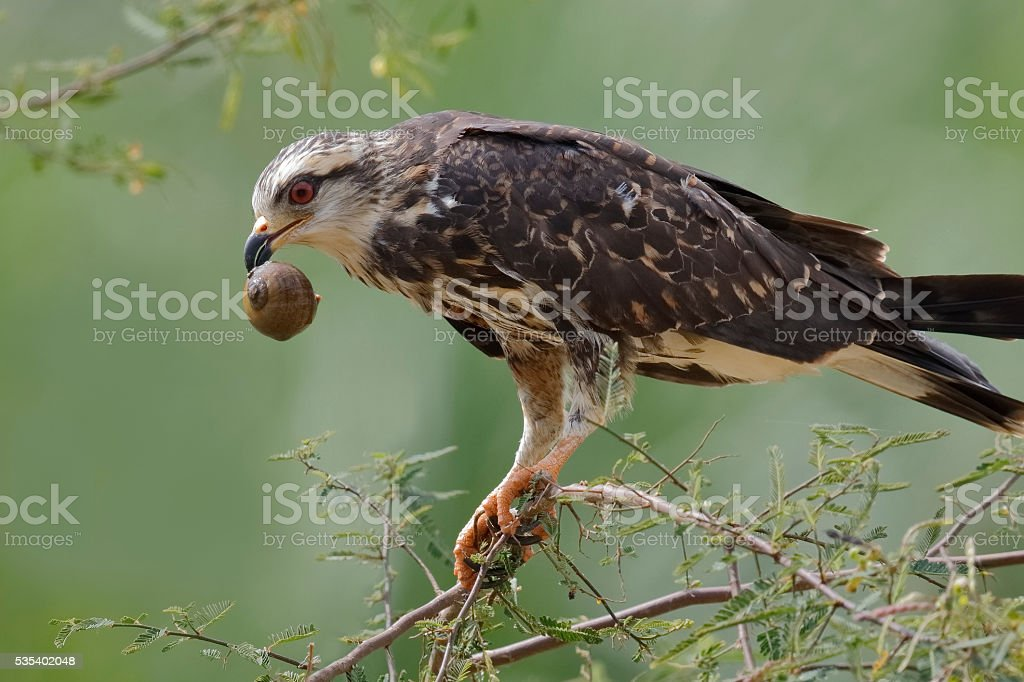 Female Snail Kite  Eating an Apple Snail - Panama stock photo