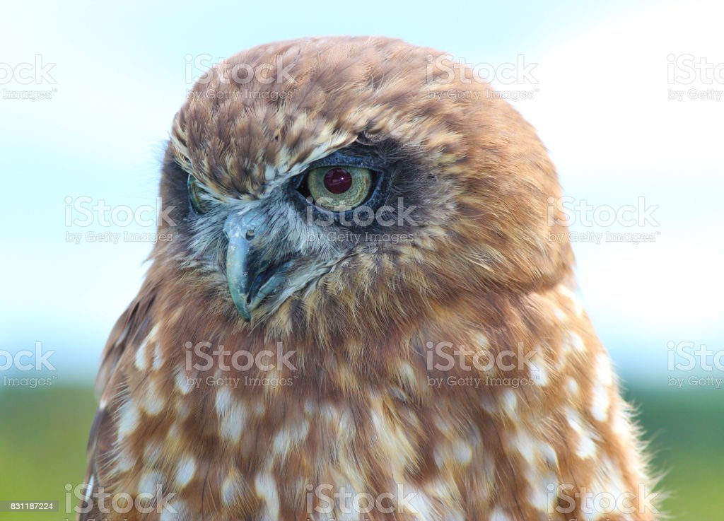 Female Southern Boobook Owl - Bird of prey stock photo