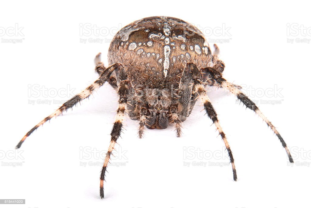 Female spider crusader stock photo
