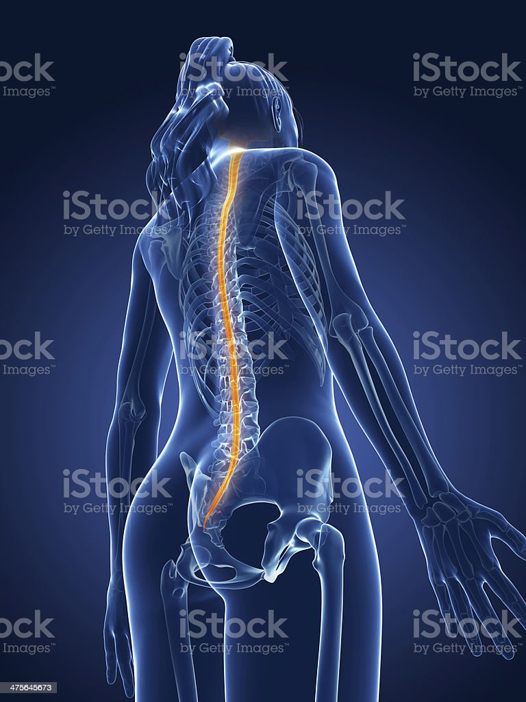 female spinal cord royalty-free stock photo