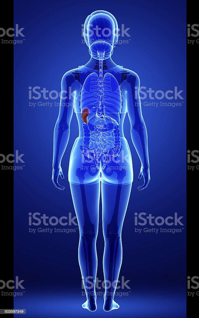 Female spleen anatomy royalty-free stock photo