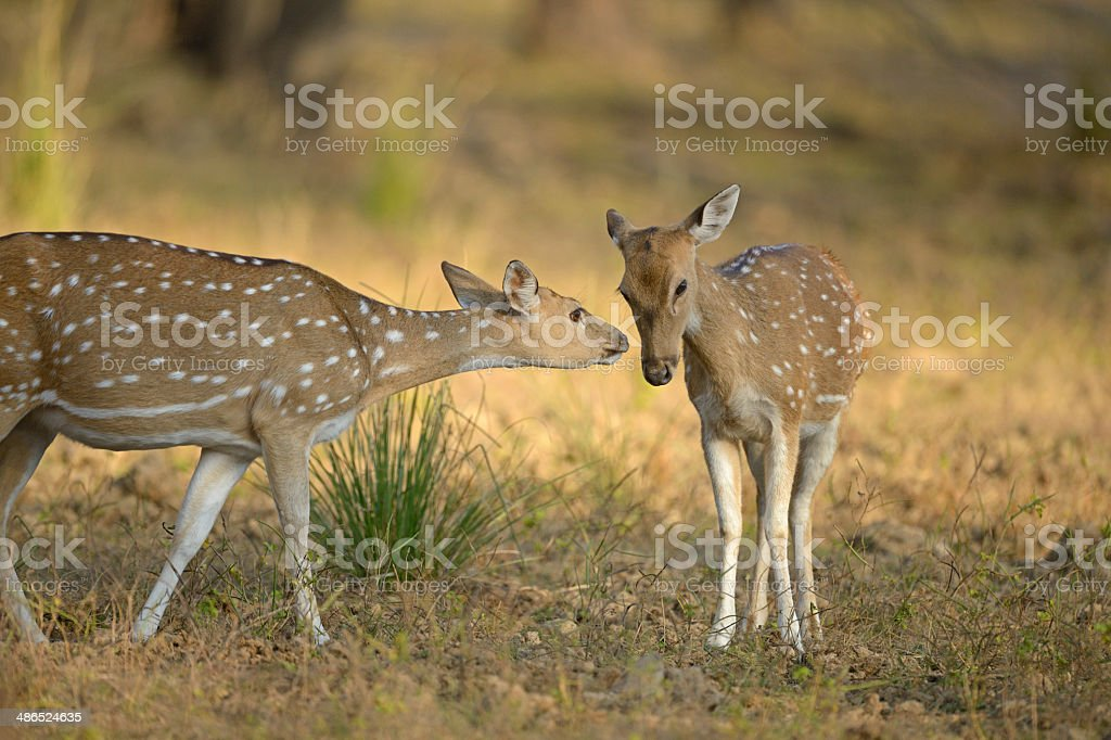 Female Spotted deer royalty-free stock photo