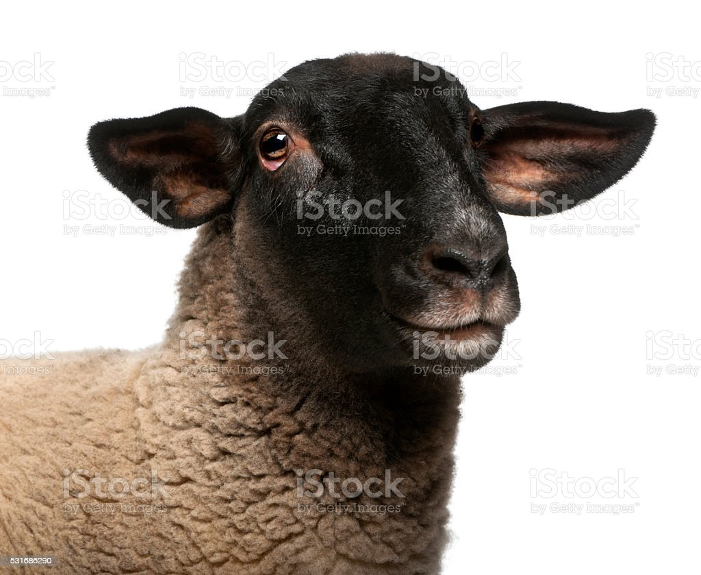 Female Suffolk sheep, Ovis aries, 2 years old, portrait stock photo