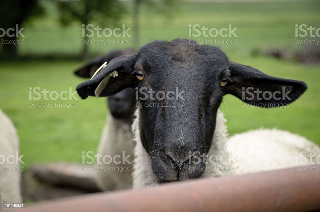 Female Suffolk Sheep stock photo