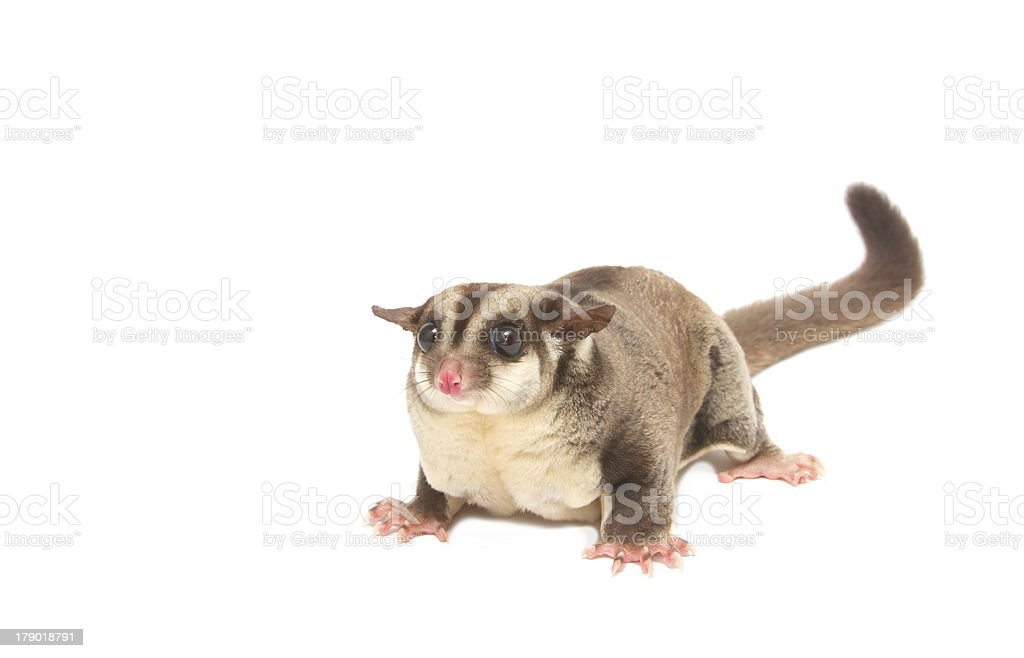 female sugarglider royalty-free stock photo