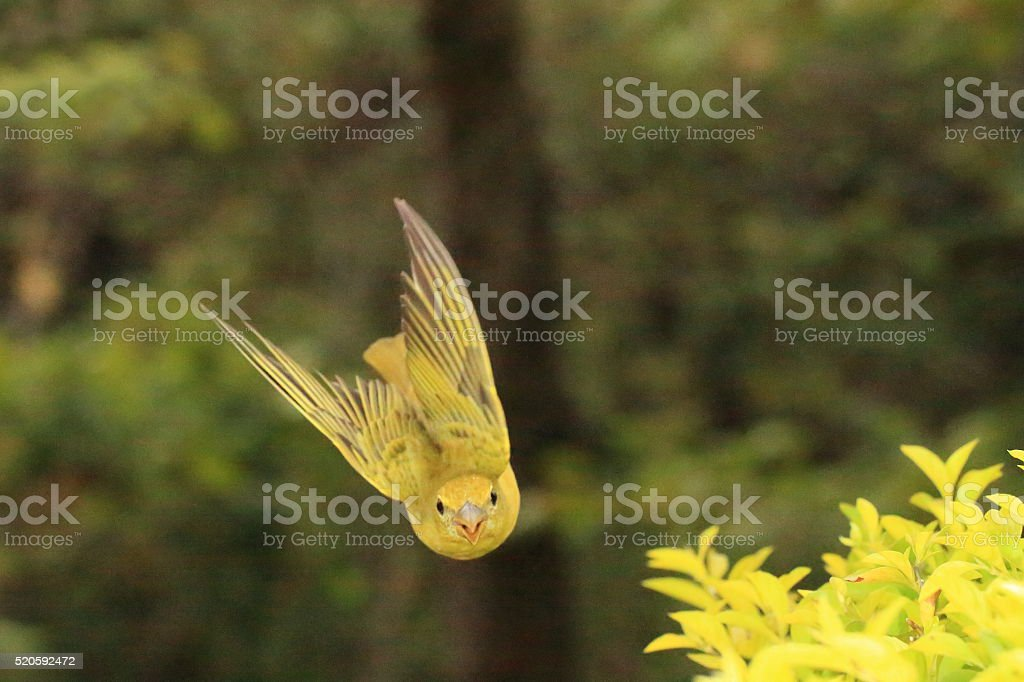 Female Summer Tanager Flying s a Bullet stock photo