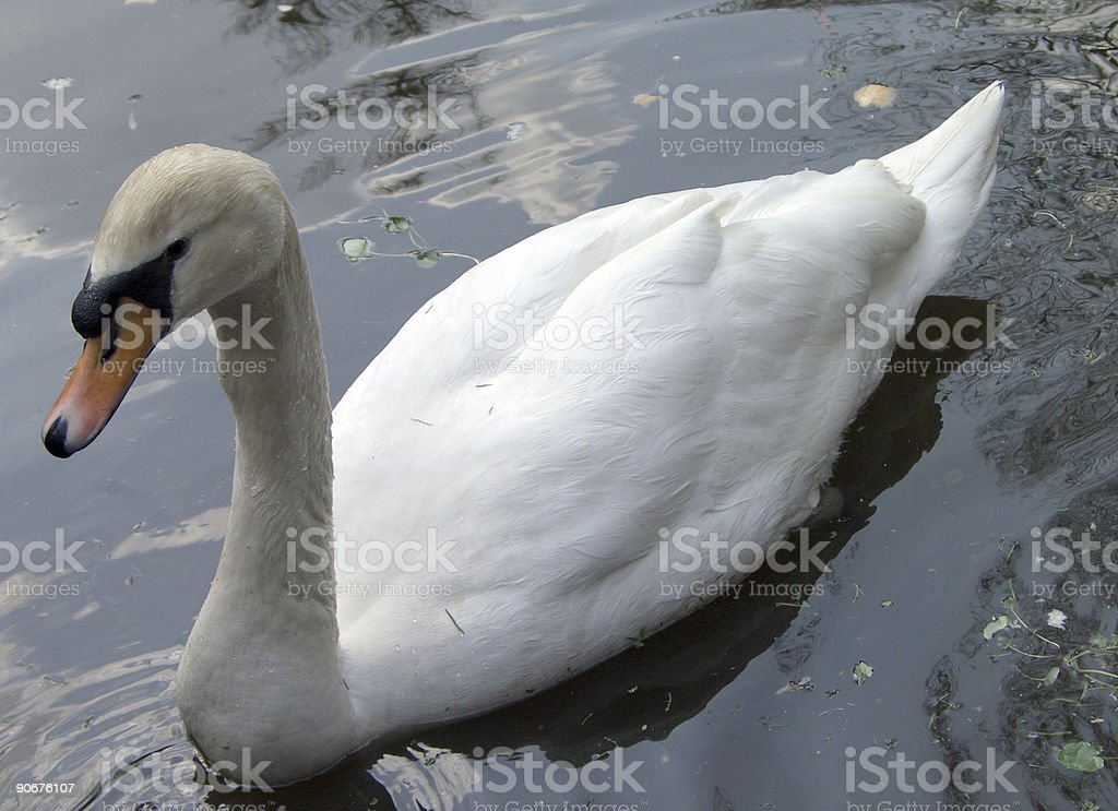 female swan royalty-free stock photo