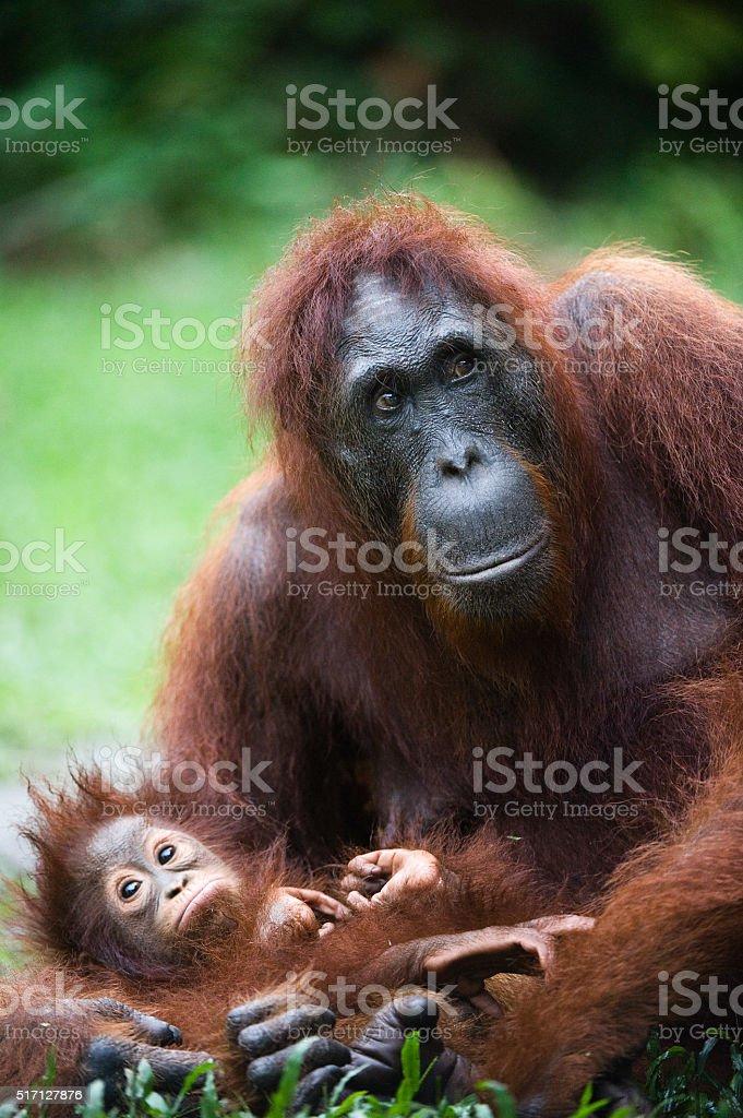 Female the orangutan with the cub. stock photo