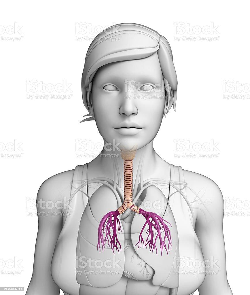 Weibliche Hals Anatomie Stockfoto 503400799 | iStock