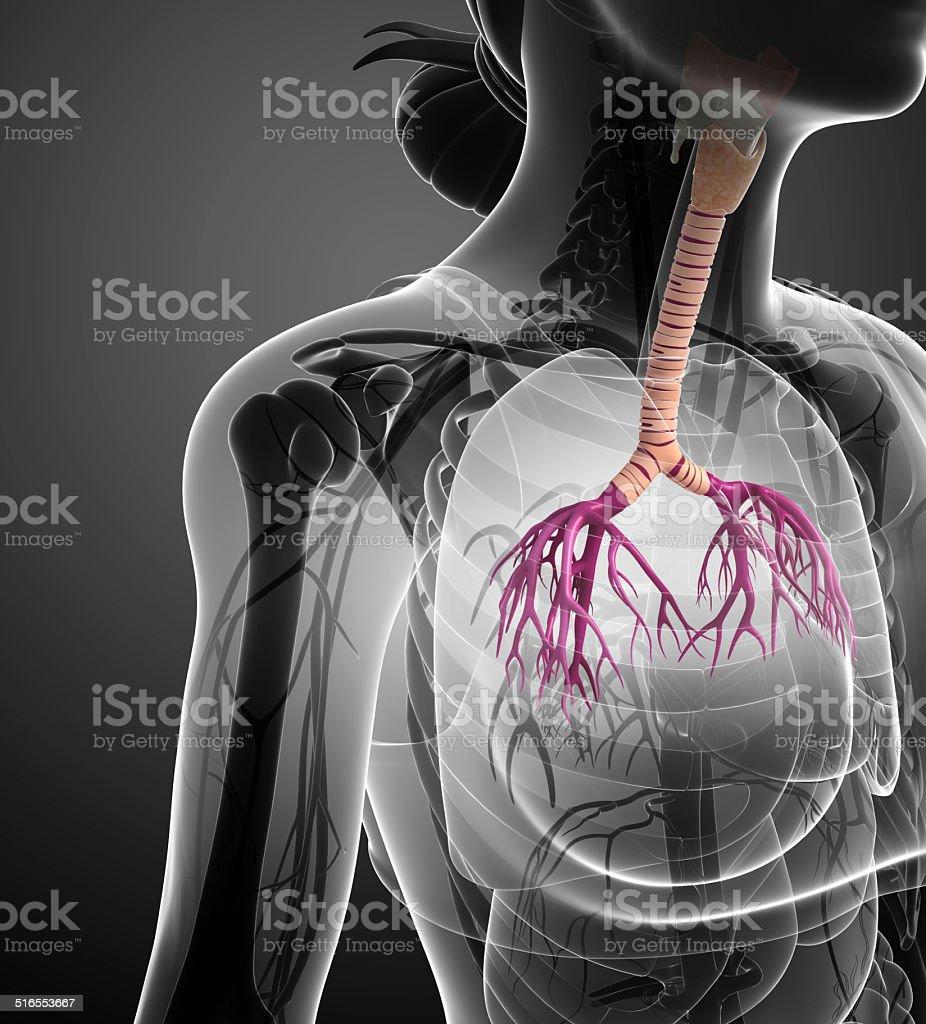 Female throat anatomy stock photo