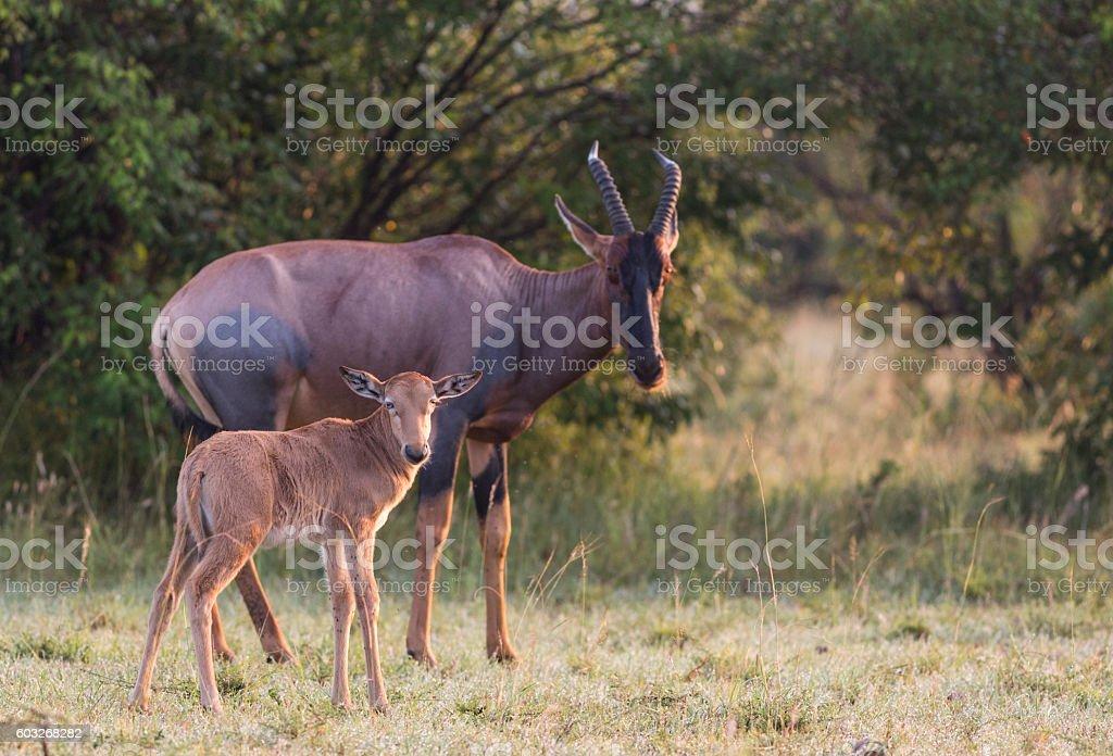 Female Topi gazelle with calf stock photo