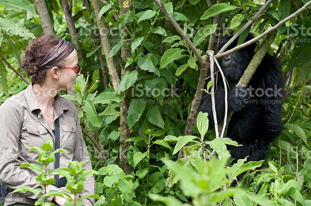 A female tourist observing a juvenile Mountain Gorilla stock photo