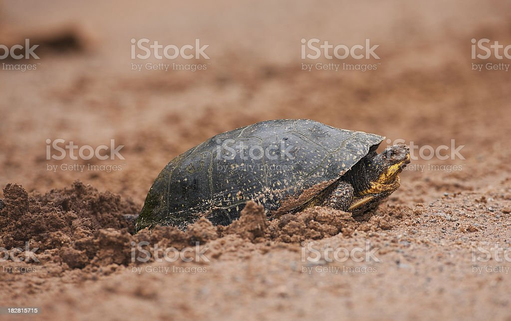Female turtle laying eggs in soft sand. stock photo
