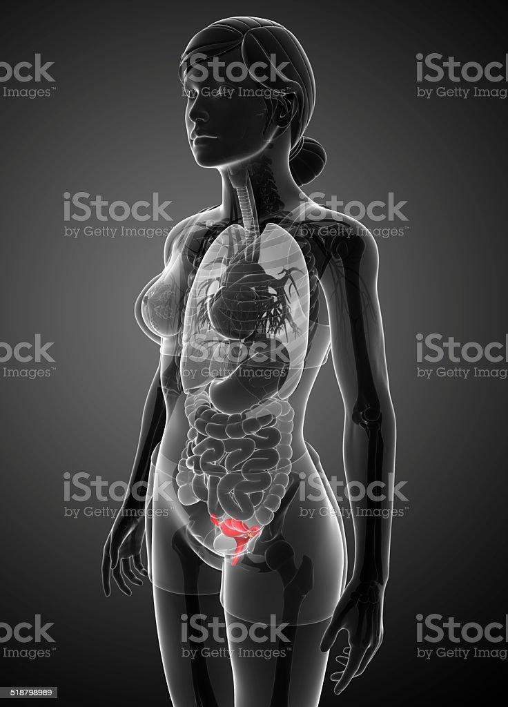 Female uterus anatomy stock photo