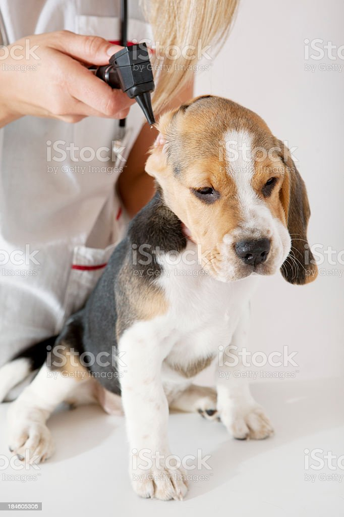 Female Veterinarian Chek Up Little Puppy With Otoscope royalty-free stock photo