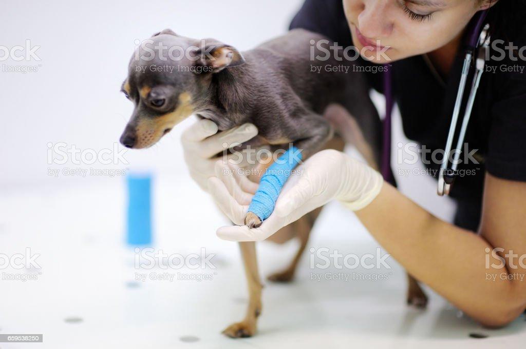 Female veterinarian doctor during work in veterinary clinic stock photo