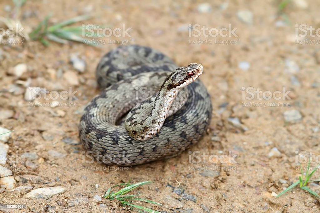 female vipera berus stock photo