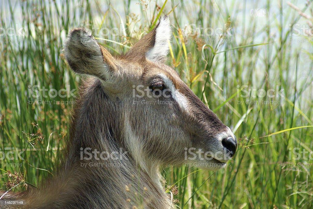 Female Waterbuck stock photo