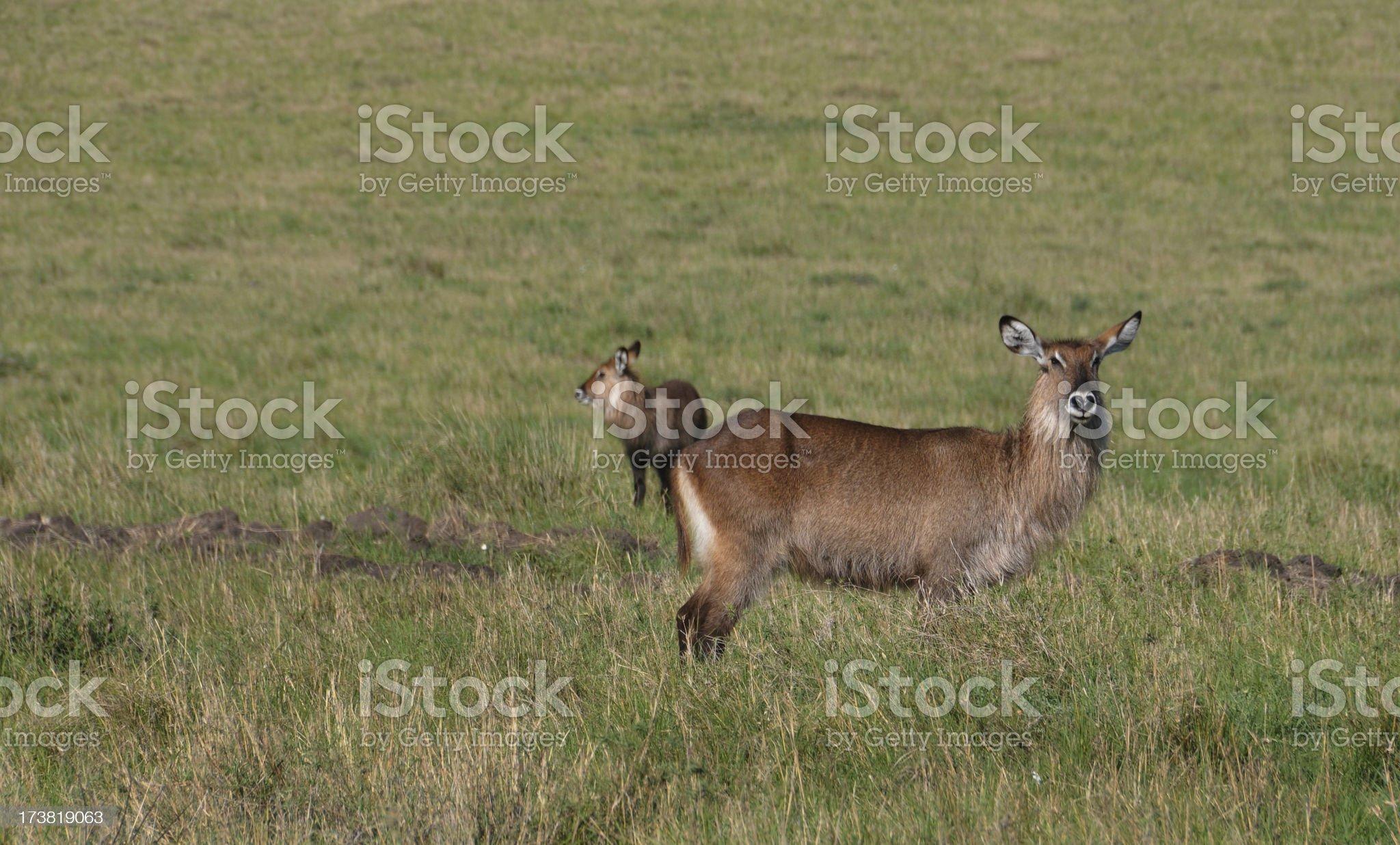 Female Waterbuck royalty-free stock photo