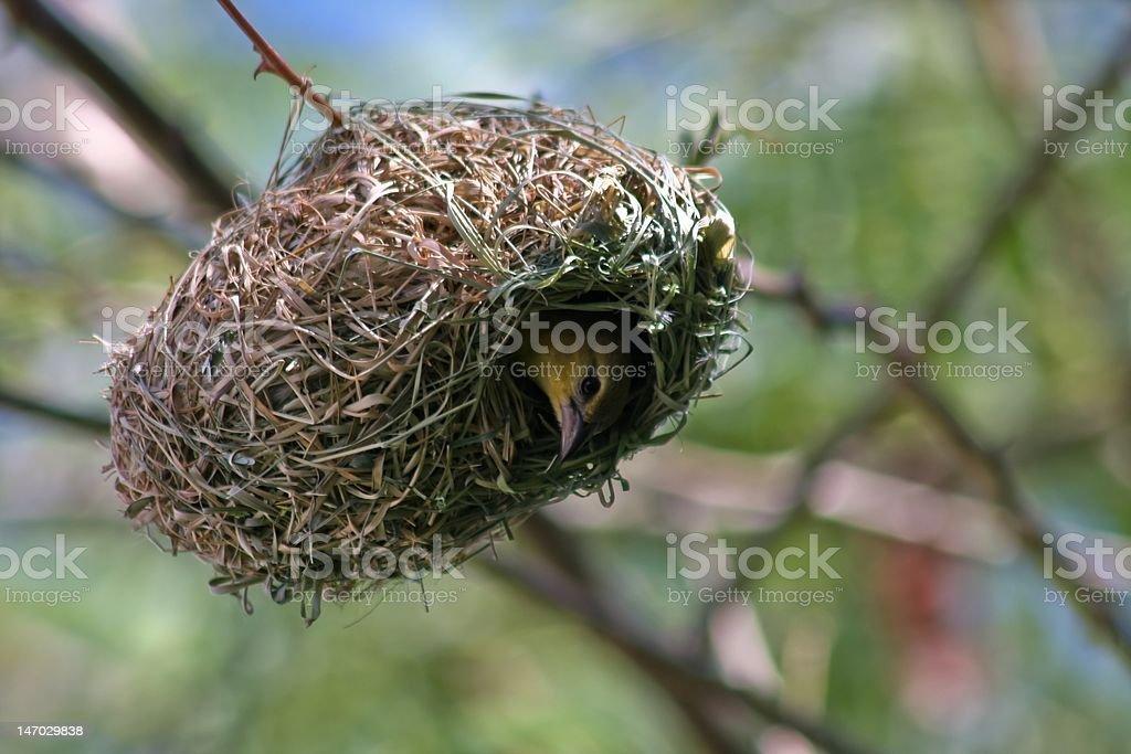 Female weaver bird stock photo
