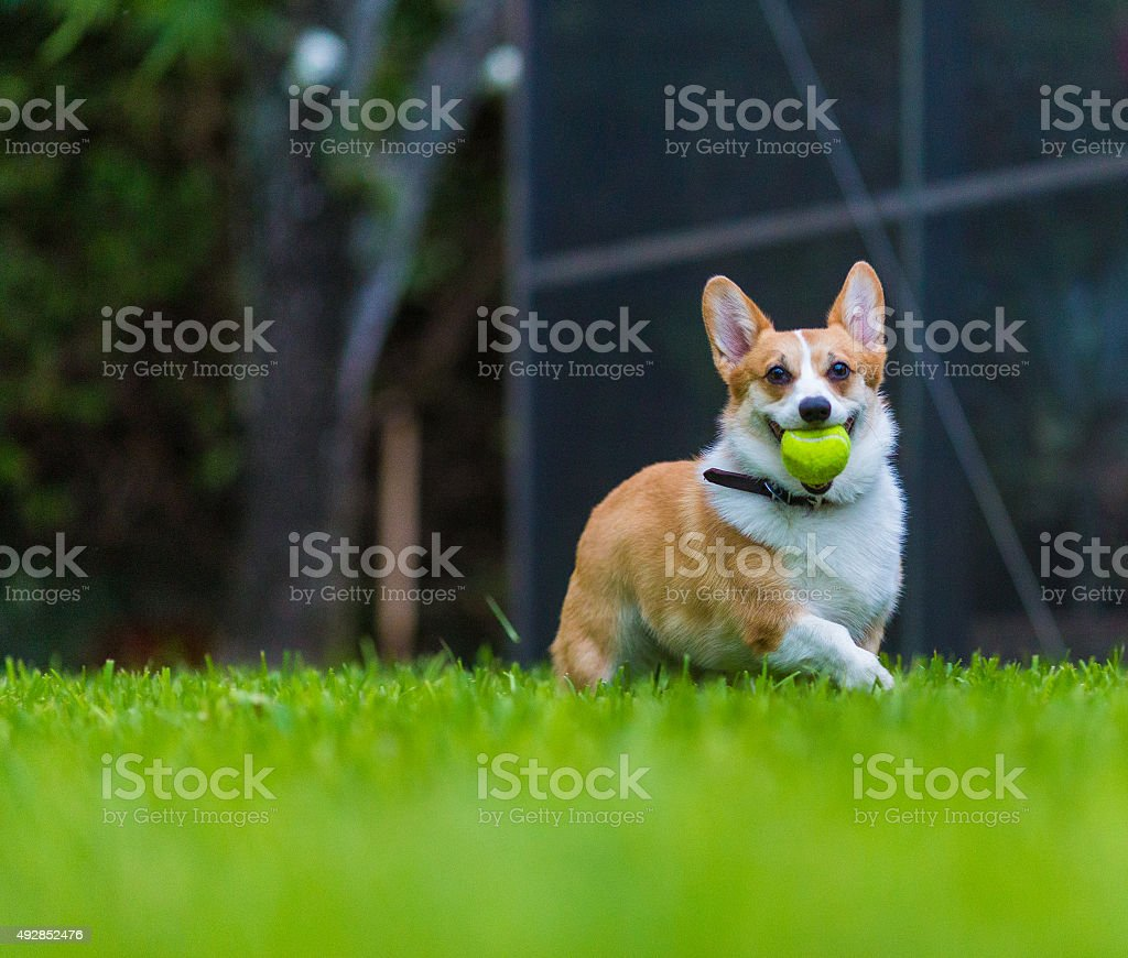 Female Welsh corgi dog stock photo