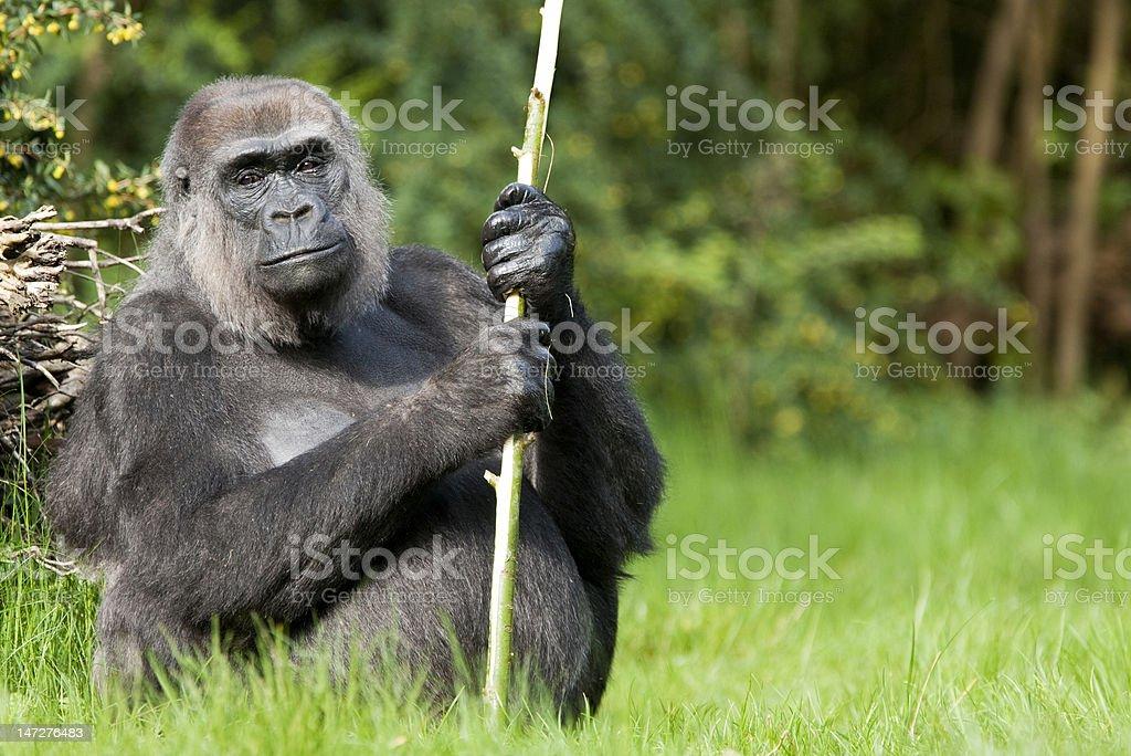 female western lowland gorilla holding a stick royalty-free stock photo