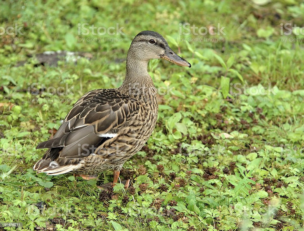female wild duck royalty-free stock photo