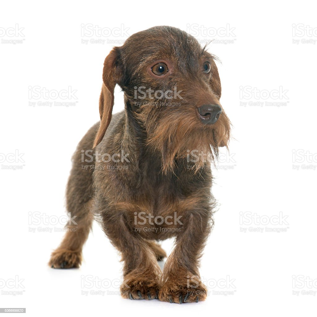 female Wire haired dachshund stock photo