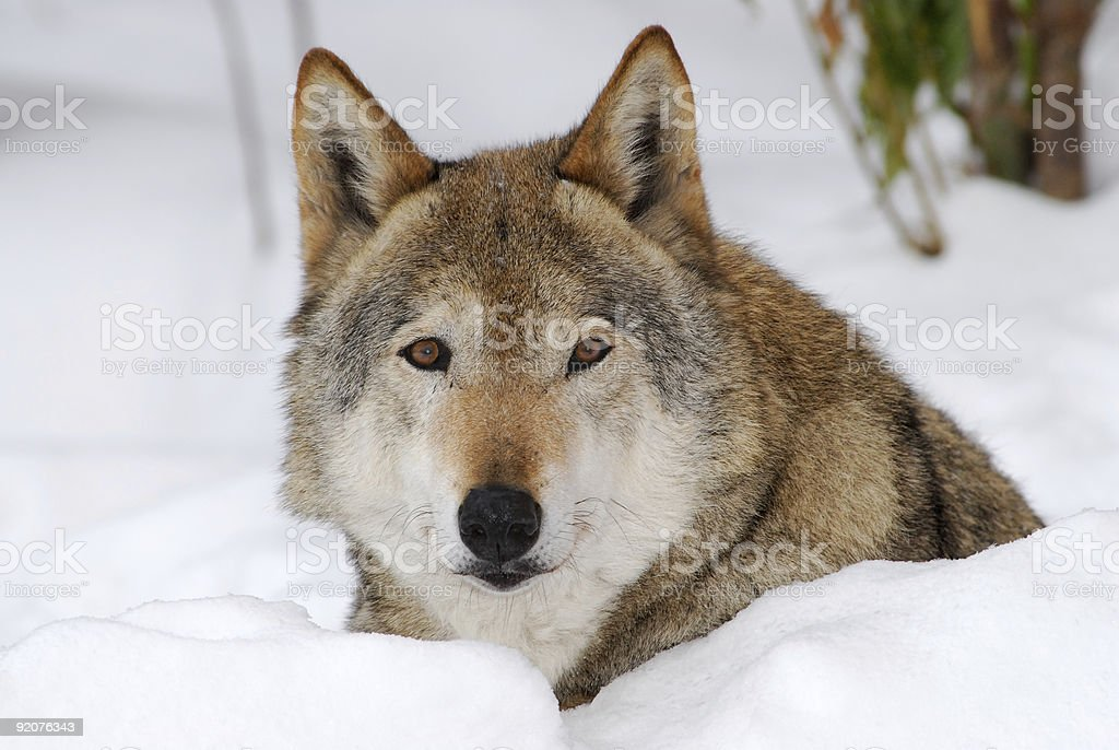 female wolf on the snow royalty-free stock photo