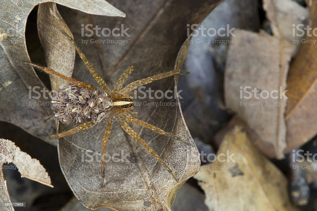 Female wolf spider with babies stock photo