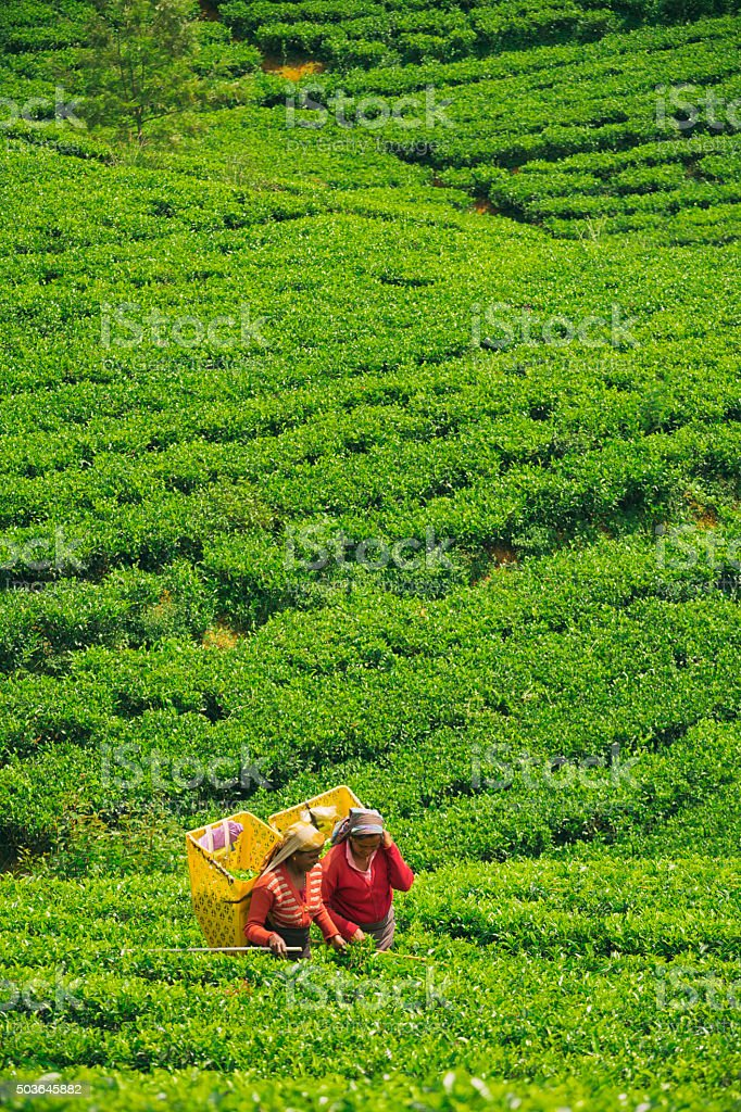Female Workers in Tea Plantations of Sri Lanka stock photo