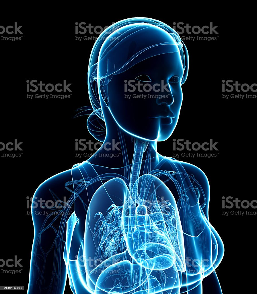 Female x-ray respiratory system artwork stock photo