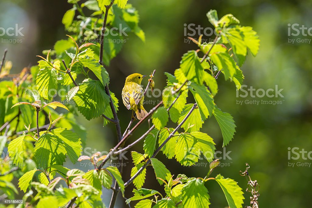 Female Yellow Warbler (Dendroica petechia) In a Tree stock photo
