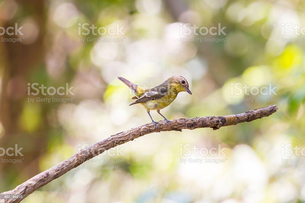 female Yellow-rumped flycatcher (Ficedula zanthopygia) in nature stock photo