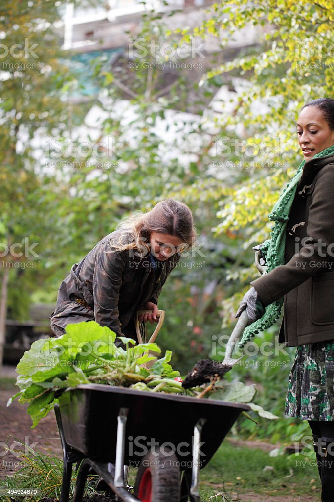 females weeding the allotment stock photo