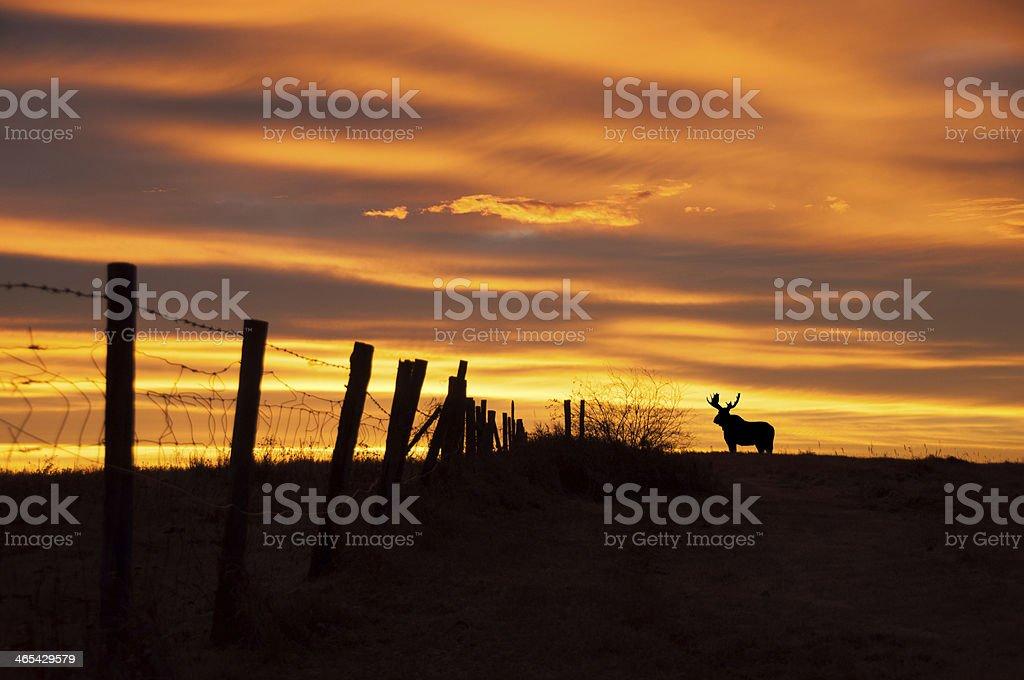 Fence Line Moose stock photo