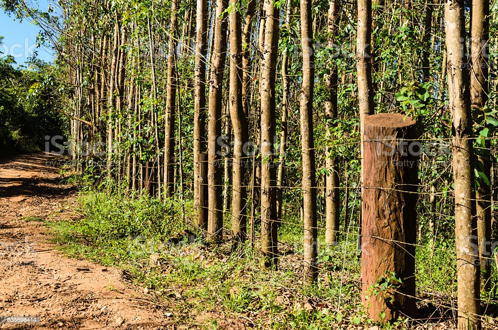 fence with eucalyptus forest stock photo
