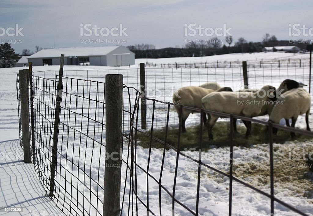 Fenced in Sheep royalty-free stock photo