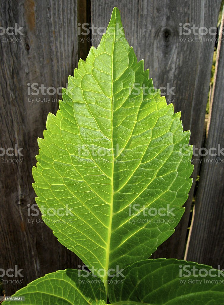 Fenced Leaf royalty-free stock photo