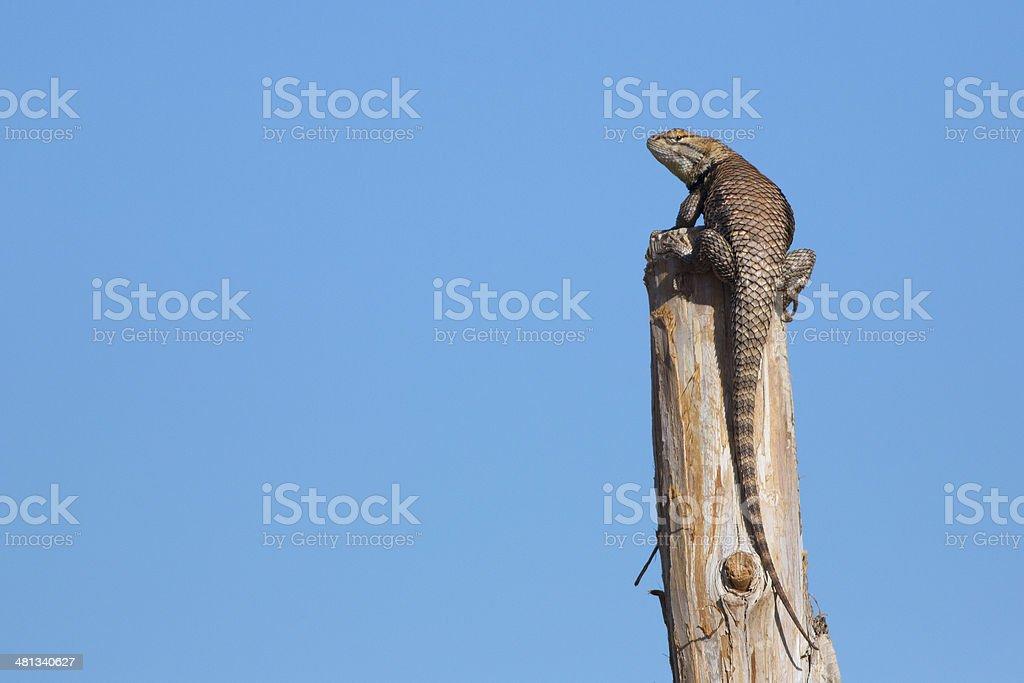 Fencepost Lizard stock photo