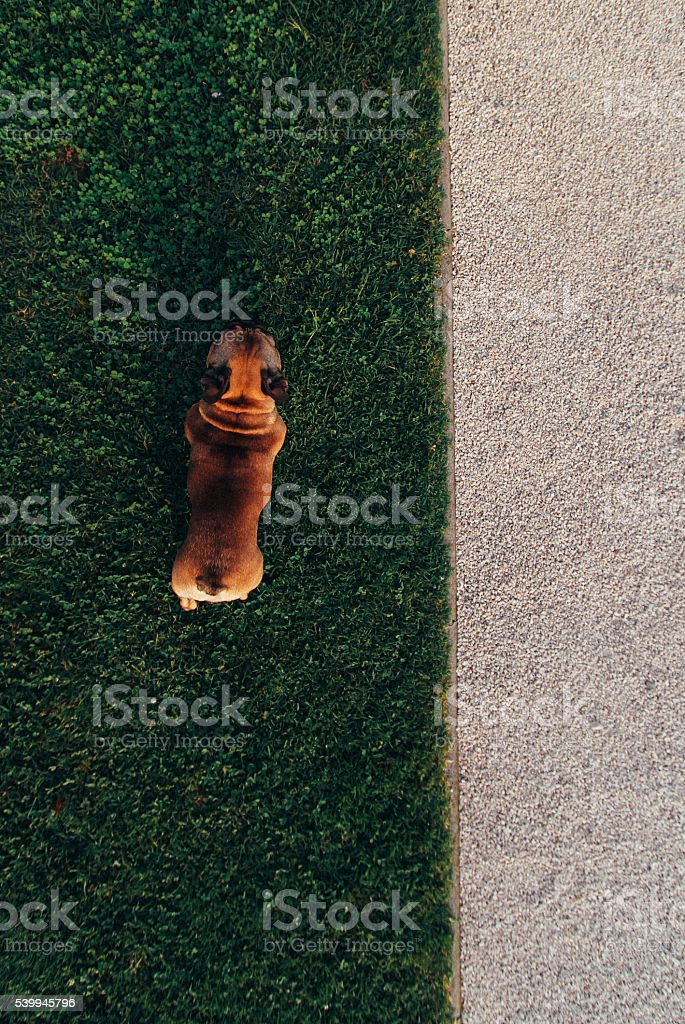 Fench bulldog from top stock photo