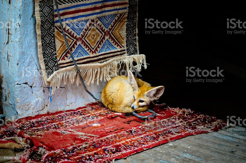 Fennec Fox in captivity stock photo