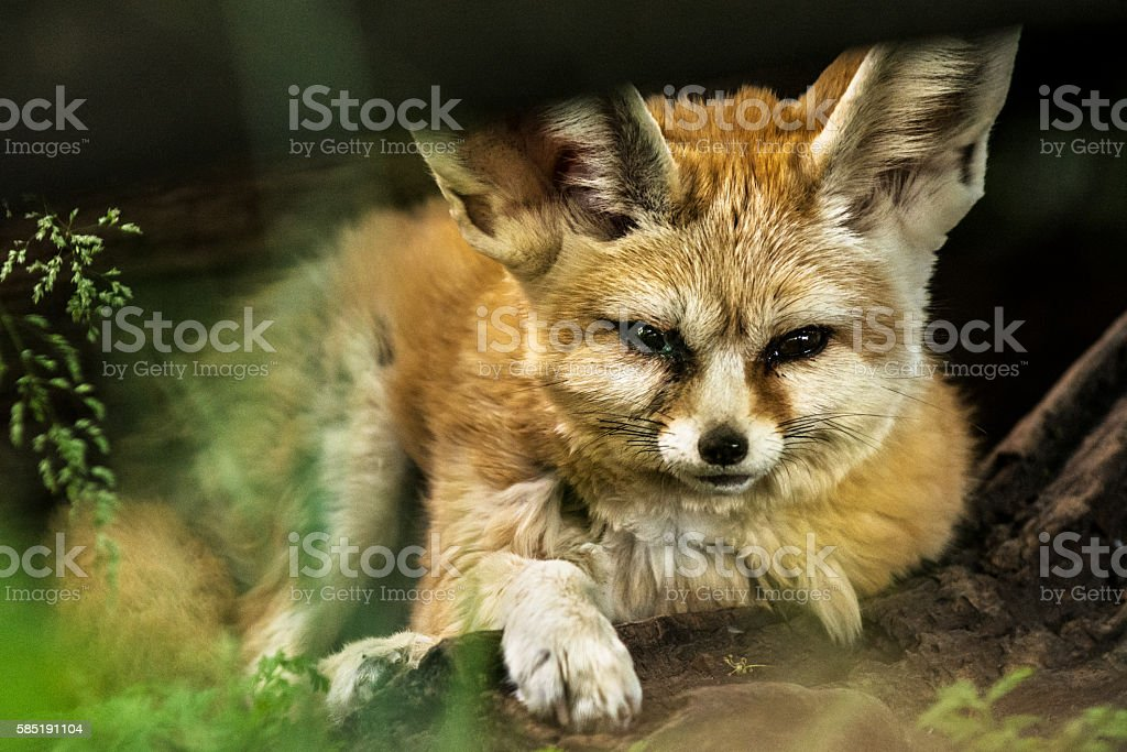 Fennec fox is resting in lair stock photo