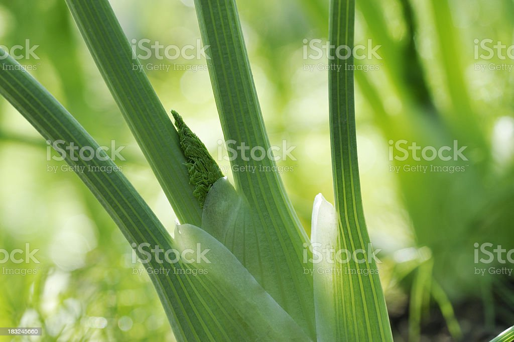 Fennel close up royalty-free stock photo