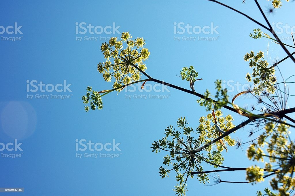 Fennel Flair royalty-free stock photo