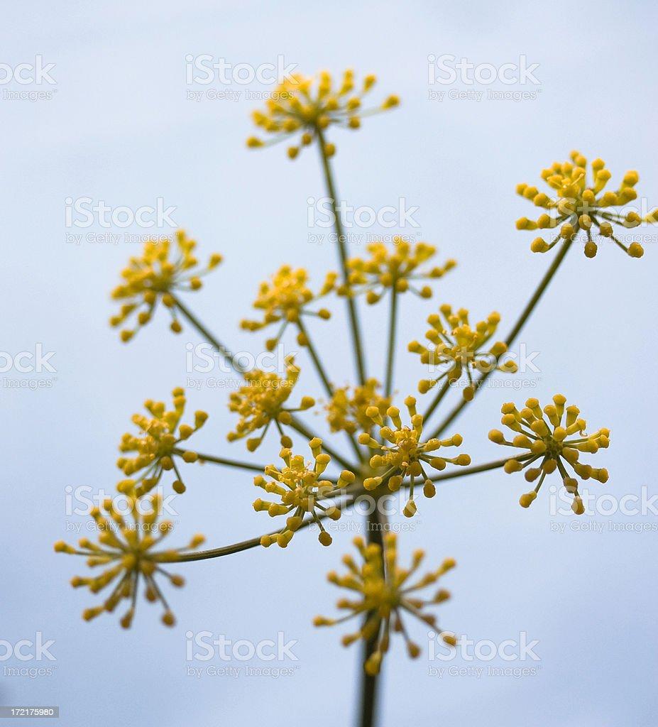 fennel flower royalty-free stock photo
