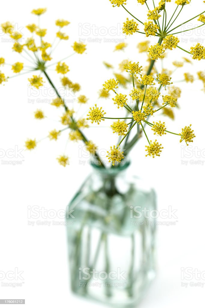 Fennel flowers royalty-free stock photo
