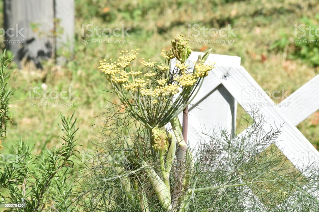 Fennel growing at white fence stock photo