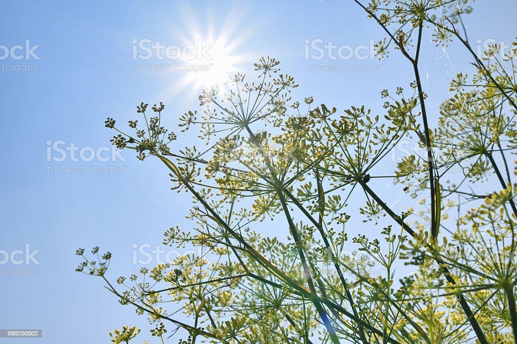 fennel in bule sky stock photo