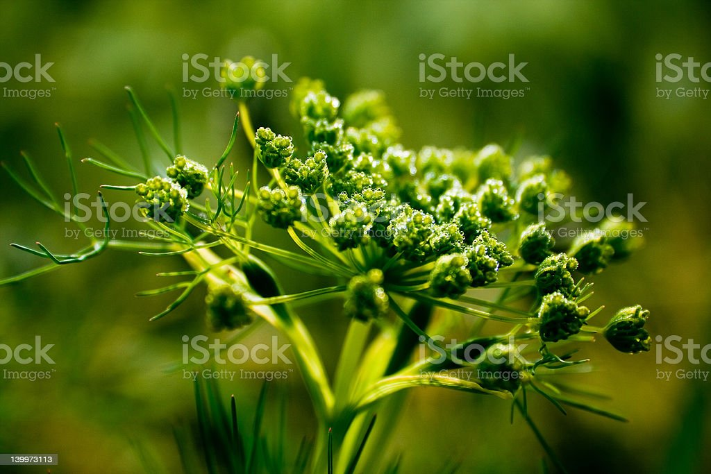 Fennel plant royalty-free stock photo